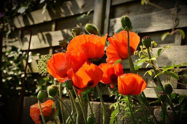 květy máku