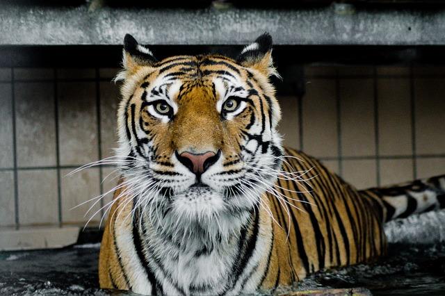 tygr ussurijský 1
