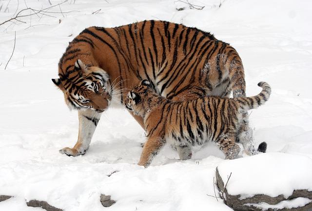 tygr a mládě